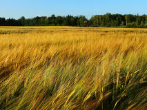 Golden rye field in summer Royalty Free Stock Image