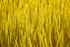 Golden rye in fienld to illustrate and background Stock Photos