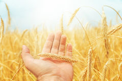 Golden rye in the hand over field Royalty Free Stock Photos