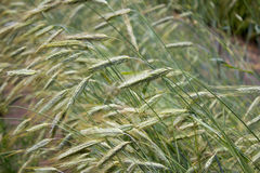 Golden rye Secale cereale, close-up Royalty Free Stock Photography