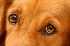 Golden's eyes Stock Images