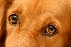 Golden's eyes. Sad eyes of a golden retriever Stock Images