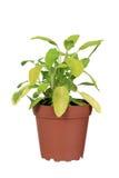 Golden sage plant Stock Image