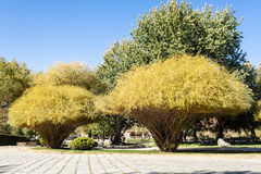 Golden sand willows in autumn Stock Photography