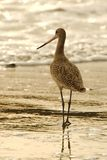 Golden sandpiper standing at the beach during sunset. royalty free stock photo