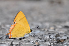 Golden Sapphire butterfly. Of thailand background Royalty Free Stock Photos