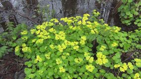 Golden saxifrage stock footage