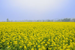 Golden sea of flowering rape in foggy sunny spring Royalty Free Stock Photography