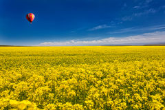 Golden sea of flowers. Golden canola flower endless, like the golden sea Royalty Free Stock Photos
