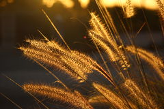 Golden Sea Grass Royalty Free Stock Photography
