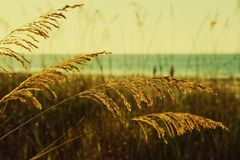 Golden Sea Oats Royalty Free Stock Photo