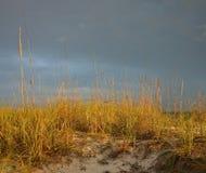 Golden sea oats Stock Image
