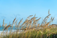 Golden Sea Oats. Sea oats blowing in the wind on beach stock photos