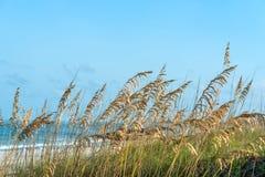 Golden Sea Oats Stock Photos