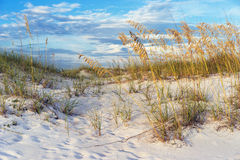 Golden Sea Oats in the Florida Sand Dunes Landscape Royalty Free Stock Photos