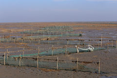 Golden seaweed, the nets in the tidal flat, wetlands in the winter. The tide goes out, fishing nets and bamboo Royalty Free Stock Images