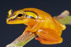 Golden sedge frog / Hyperolius puncticulatus Stock Photos