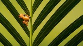 Golden sedge frog. A little golden sedge frog on a palm leaf Royalty Free Stock Photography