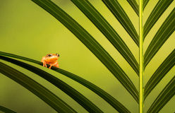 Golden sedge frog Royalty Free Stock Photos