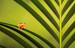 Golden sedge frog Royalty Free Stock Photos