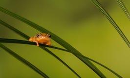 Golden sedge frog. A golden sedge frog on a plant Royalty Free Stock Photos