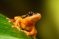 Golden Sedge Frog Stock Images
