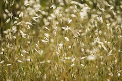 Golden seedpods of oat plant, avena Royalty Free Stock Photography