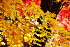 Golden seven angle maple leaves Royalty Free Stock Photos