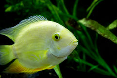 Golden Severum cichlid Heros severus. Female Golden Severum cichlid Heros severus Stock Images