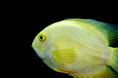Golden Severum cichlid Heros severus. Female Golden Severum cichlid Heros severus Royalty Free Stock Photography