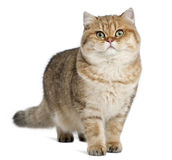 Golden shaded British shorthair, 7 months old Stock Photography