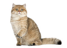 Golden shaded British shorthair, 7 months old Stock Images