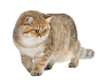 Golden shaded British shorthair, 7 months old Royalty Free Stock Photo