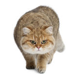 Golden shaded British shorthair, 7 months old Stock Image