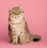 Golden shaded British shorthair, 7 months old Royalty Free Stock Images