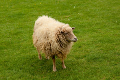 Golden Sheep Stock Photography