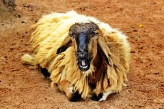 Golden Sheep. In the Zoo in Thailand Stock Photo