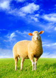 The golden sheep Royalty Free Stock Image
