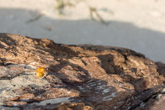 Golden shelled hermit crab Stock Images