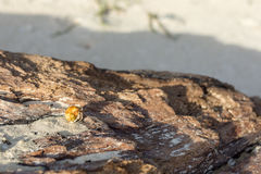 Golden shelled hermit crab Stock Image