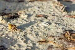 Golden shelled hermit crab crawls Stock Photo