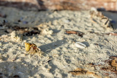 Golden shelled hermit crab crawls Stock Image