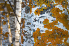 Golden shield lichen Stock Photography