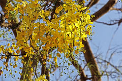 Golden Shower Bloom in Tree Royalty Free Stock Images