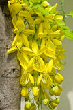 Golden shower, Cassia fistula Stock Photos