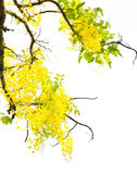 Golden shower (Cassia fistula) Stock Photo