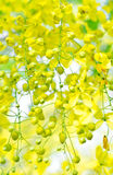 Golden shower (Cassia fistula) Stock Image
