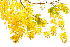 Golden shower Cassia fistula, Beautiful flower in summer time Stock Photography