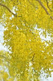 Golden Shower or Cassia Fistula is bloom in tree Royalty Free Stock Photo