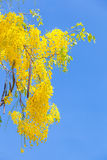 The Golden shower (Cassia fistula) Royalty Free Stock Photography